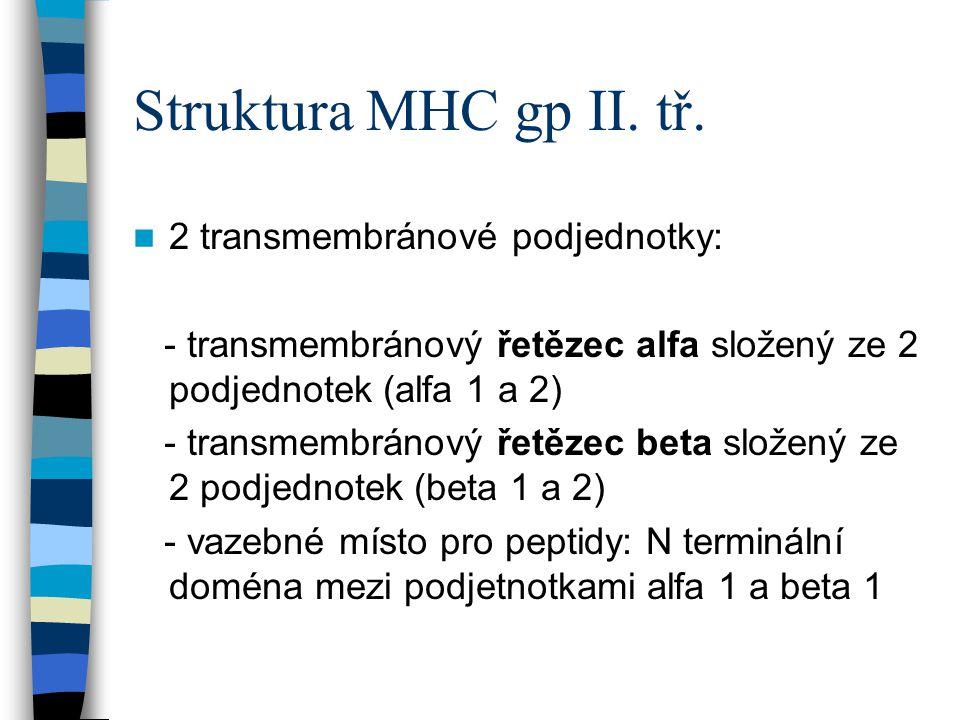 Struktura MHC gp II. tř. 2 transmembránové podjednotky: - transmembránový řetězec alfa složený ze 2 podjednotek (alfa 1 a 2) - transmembránový řetězec