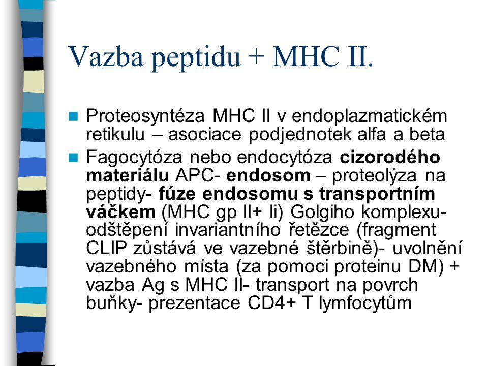 Vazba peptidu + MHC II. Proteosyntéza MHC II v endoplazmatickém retikulu – asociace podjednotek alfa a beta Fagocytóza nebo endocytóza cizorodého mate