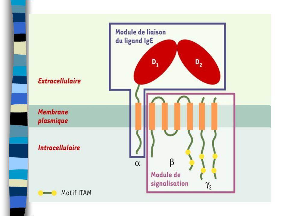 Cytoplazmatická granula Histamin, proteinázy, proteoglykamy IL- 3, 4, 5, 6, 10, 13, 16 Chemokiny: IL-8, MIP-1α (macrophage inflammatory protein), MCP-1 (membrane cofactor protein) Růstové faktory: TGF- β, VEGF (vascular epithelial growth factor) Pluripotentní cytokiny: TNF α, IL-1 Syntéza de novo: PAF, LTC 4, PGD 2