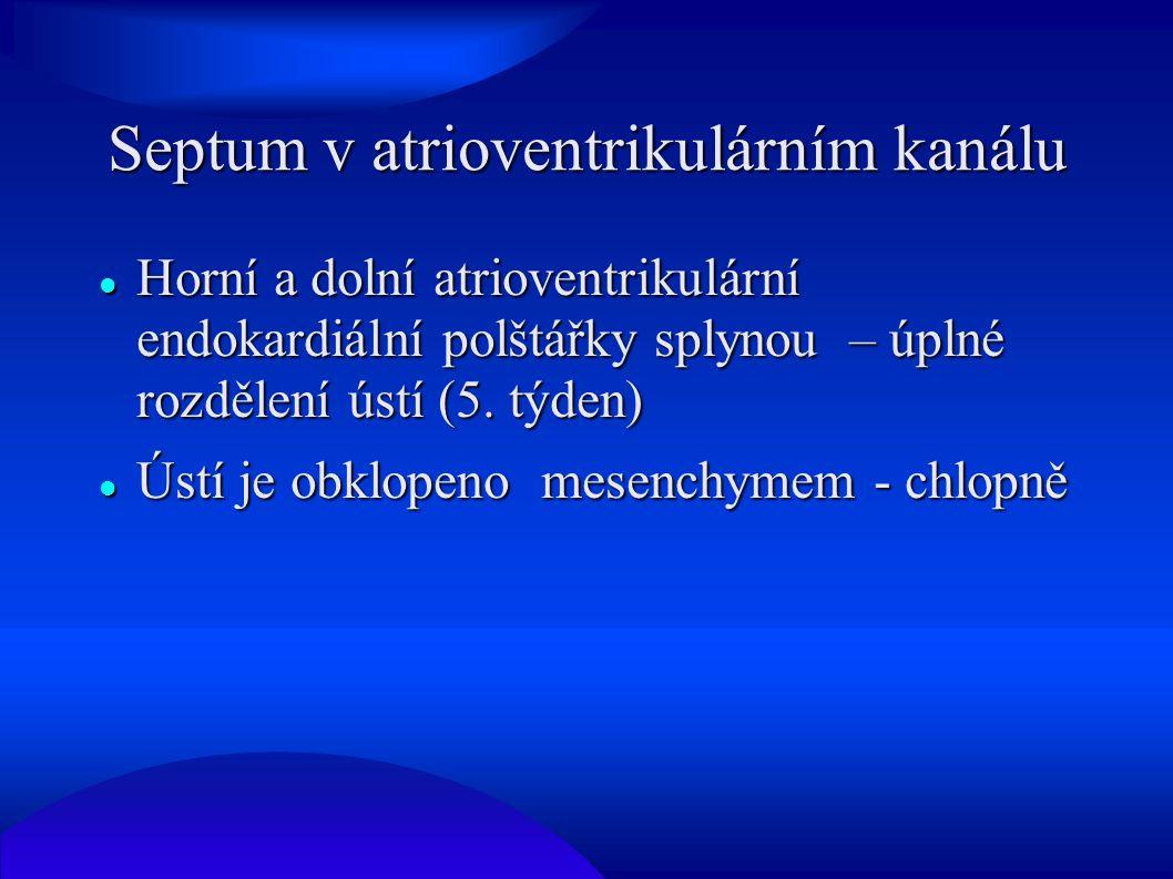Septum v atrioventrikulárním kanálu Horní a dolní atrioventrikulární endokardiální polštářky splynou – úplné rozdělení ústí (5. týden) Horní a dolní a