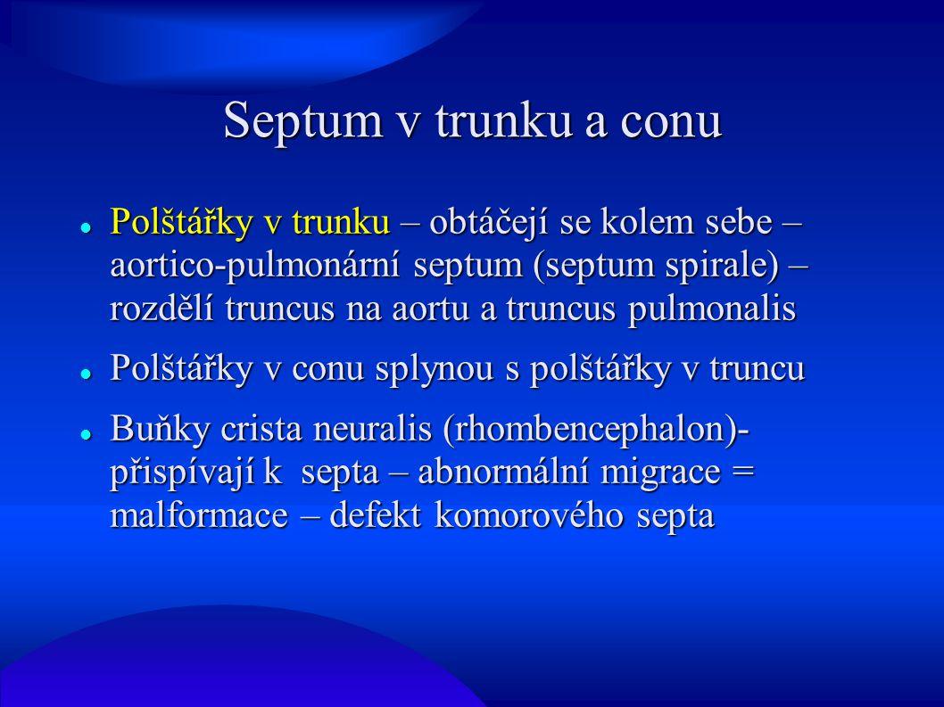 Septum v trunku a conu Polštářky v trunku – obtáčejí se kolem sebe – aortico-pulmonární septum (septum spirale) – rozdělí truncus na aortu a truncus p