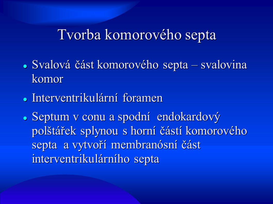 Tvorba komorového septa Svalová část komorového septa – svalovina komor Svalová část komorového septa – svalovina komor Interventrikulární foramen Int