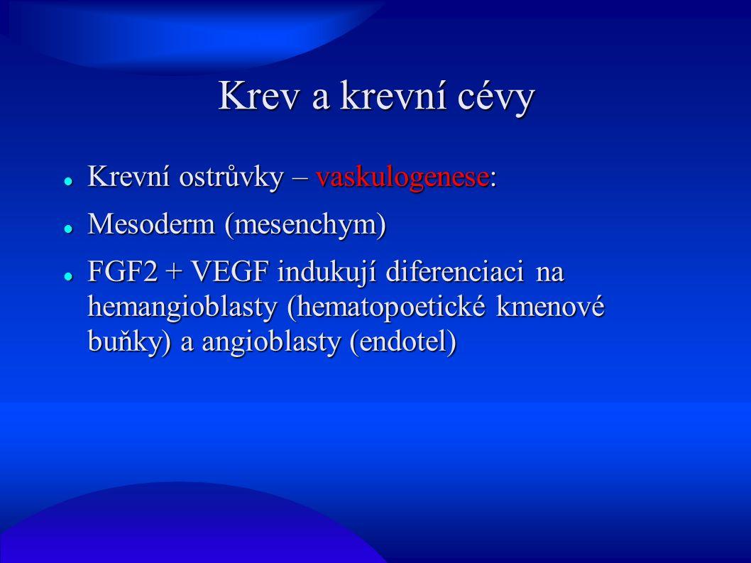 Angiogenese Primární cévní řečiště se vytvoří vaskulogenesí Primární cévní řečiště se vytvoří vaskulogenesí Existující cévy se rozrůstají = angiogenese (zprostředkováno VEGF) Existující cévy se rozrůstají = angiogenese (zprostředkováno VEGF) První krevní ostrůvky se objevují ve stěně žloutkového váčku během 3.