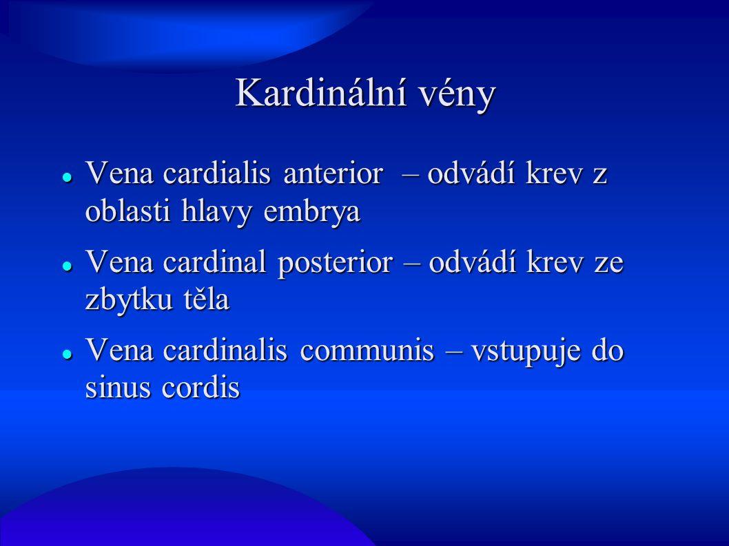 Kardinální vény Vena cardialis anterior – odvádí krev z oblasti hlavy embrya Vena cardialis anterior – odvádí krev z oblasti hlavy embrya Vena cardina