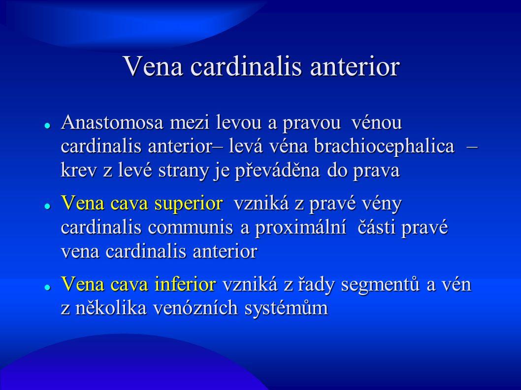 Vena cardinalis anterior Anastomosa mezi levou a pravou vénou cardinalis anterior– levá véna brachiocephalica – krev z levé strany je převáděna do pra