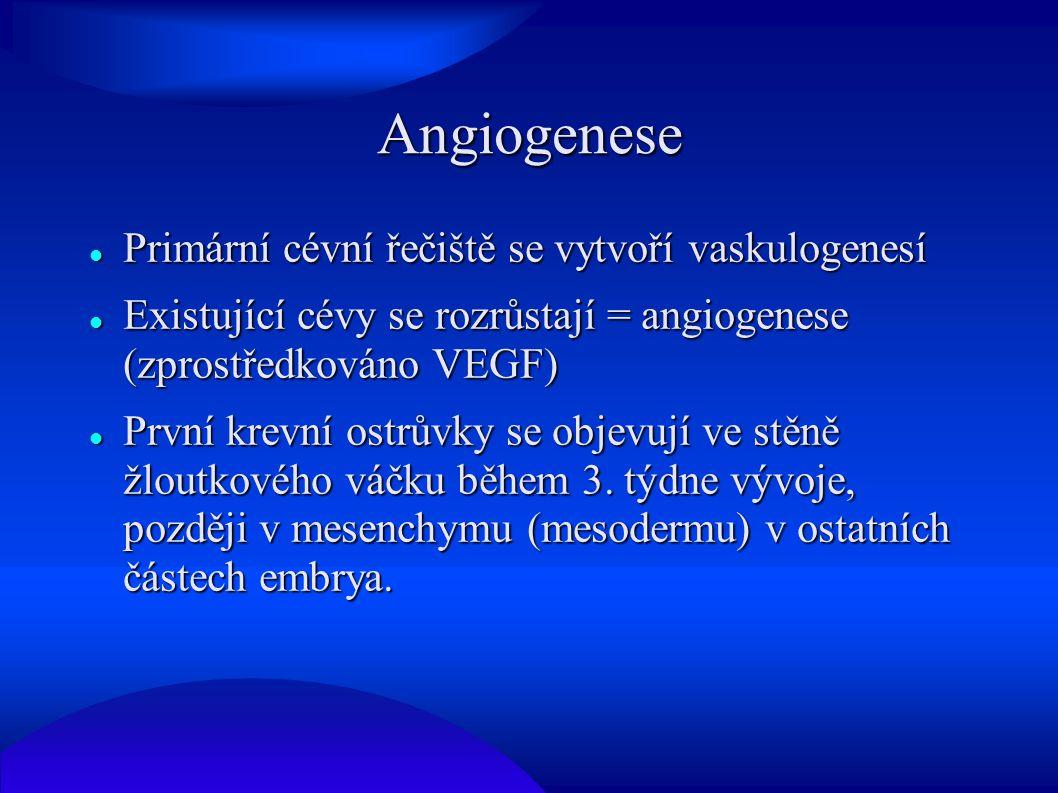 Angiogenese Primární cévní řečiště se vytvoří vaskulogenesí Primární cévní řečiště se vytvoří vaskulogenesí Existující cévy se rozrůstají = angiogenes