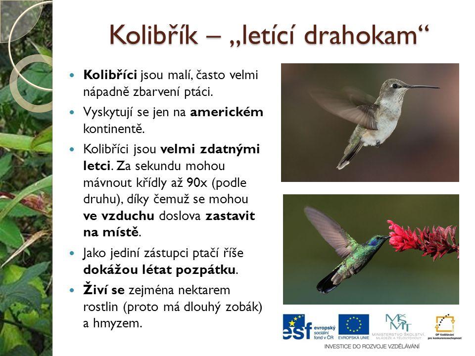 """Kolibřík – """"letící drahokam"""" Kolibříci jsou malí, často velmi nápadně zbarvení ptáci. Vyskytují se jen na americkém kontinentě. Kolibříci jsou velmi z"""