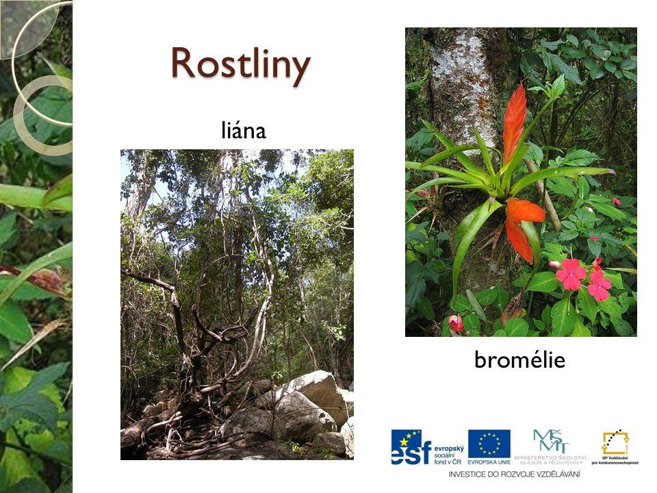 Rostliny bromélie liána