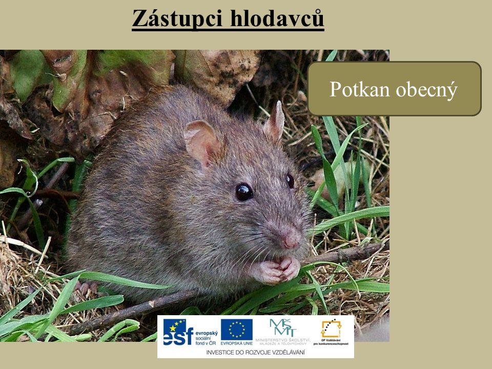 Zástupci hlodavců Potkan obecný
