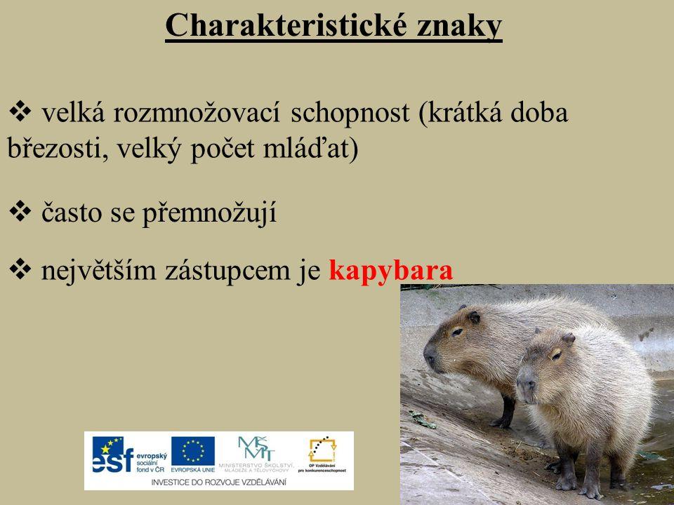 Charakteristické znaky  velká rozmnožovací schopnost (krátká doba březosti, velký počet mláďat)  často se přemnožují  největším zástupcem je kapybara