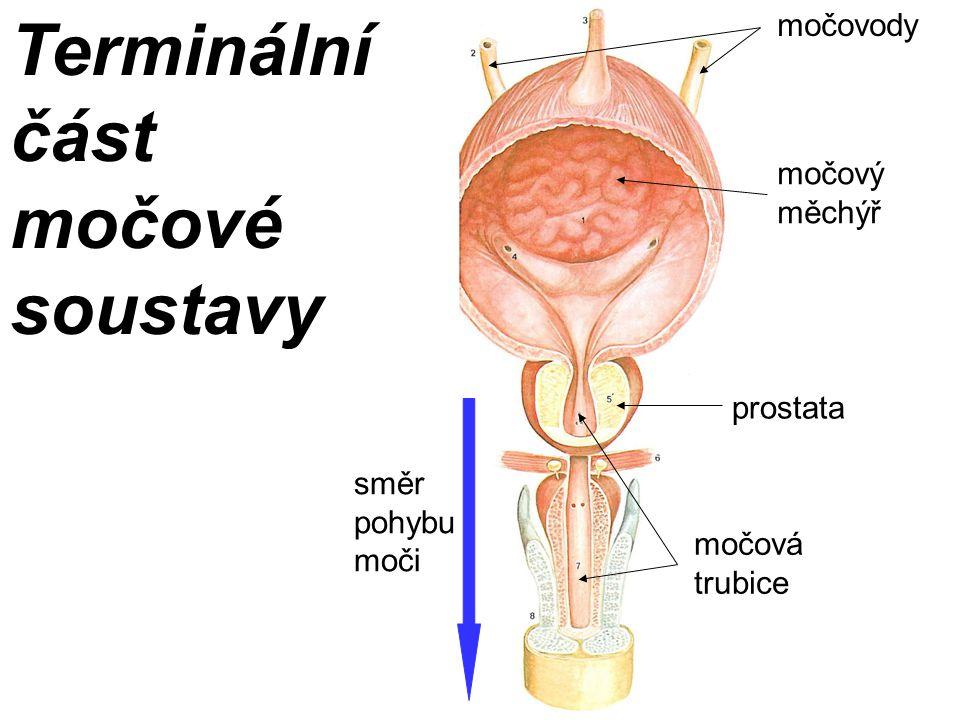 Terminální část močové soustavy močovody močový měchýř močová trubice prostata směr pohybu moči