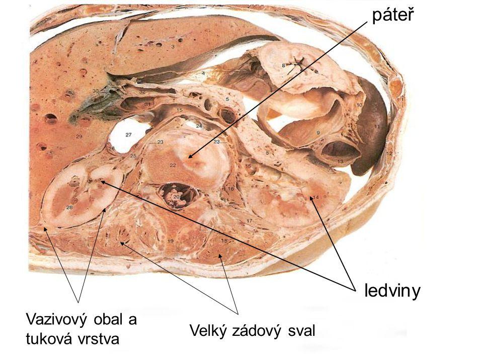 aorta ledvina ledvinná tepna ledvinná žíla močový měchýř dolní dutá žíla močovod ledvina nadledvina