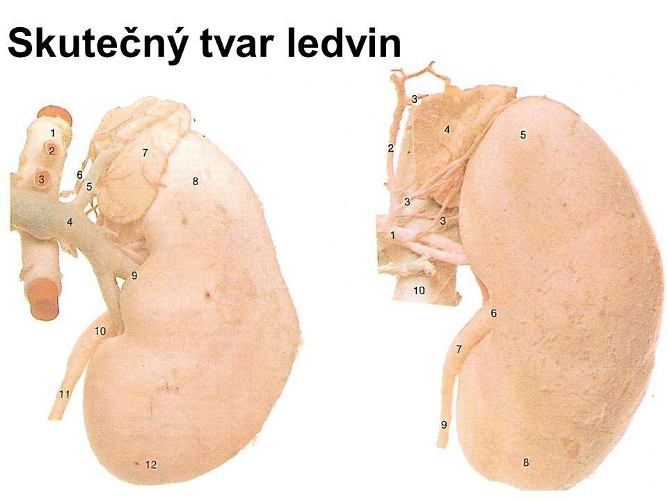 Anatomie ledvin na podélném řezu