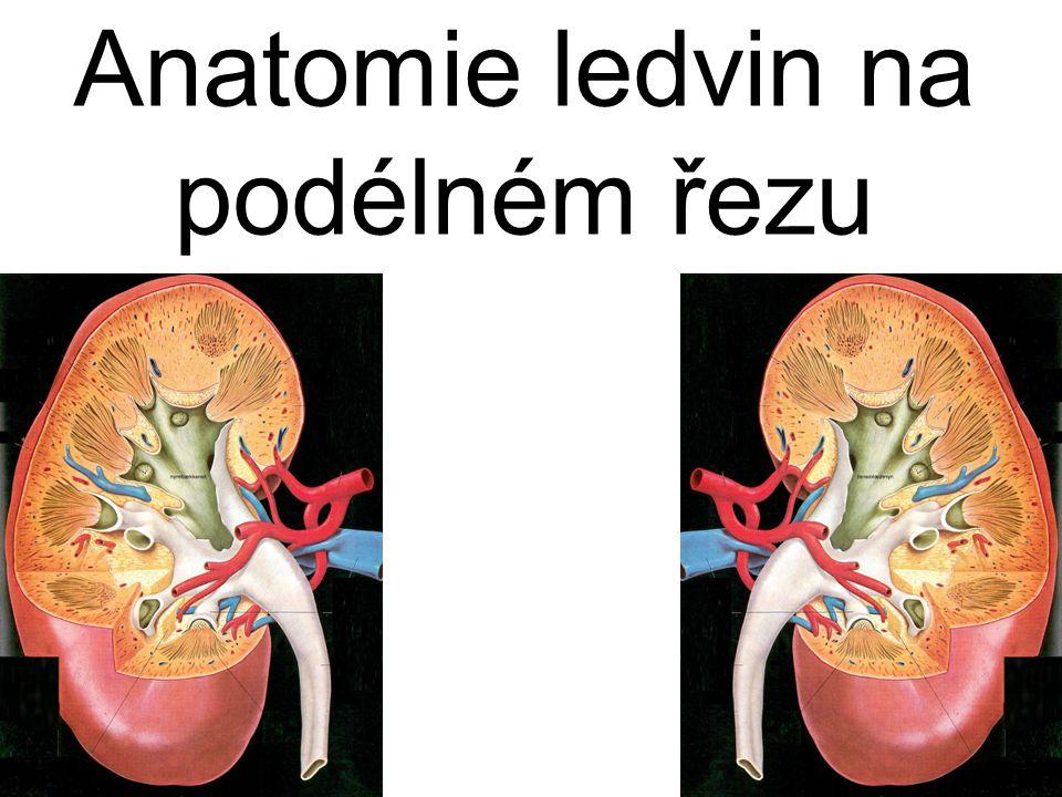 kůra dřeň ledvinná papila ledvinná pyramida ledvinný kalich ledvinná pánvička ureter