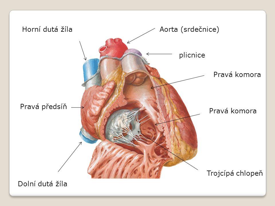 Aorta (srdečnice) plicnice Pravá komora Trojcípá chlopeň Dolní dutá žíla Pravá předsíň Horní dutá žíla