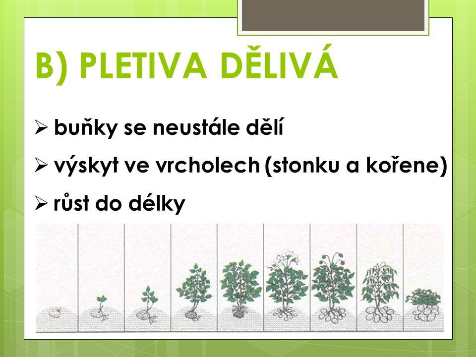 B) PLETIVA DĚLIVÁ  buňky se neustále dělí  výskyt ve vrcholech (stonku a kořene)  růst do délky