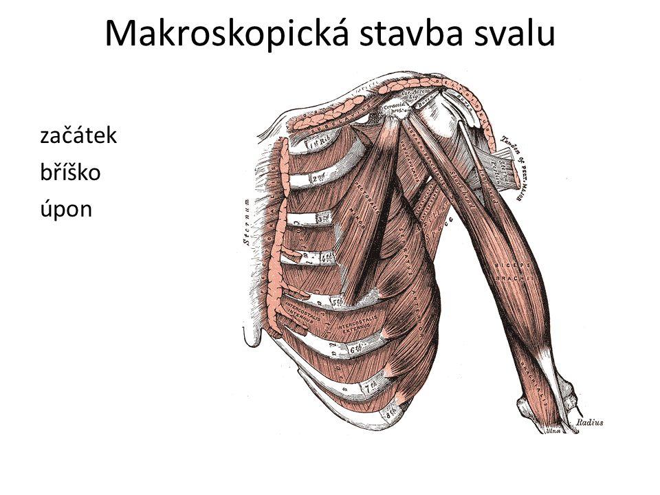 Makroskopická stavba svalu začátek bříško úpon