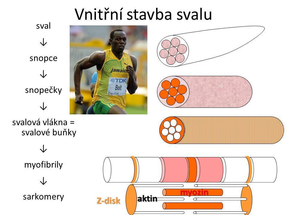 Vnitřní stavba svalu sval ↓ snopce ↓ snopečky ↓ svalová vlákna = svalové buňky ↓ myofibrily ↓ sarkomery Z-disk aktin myozin