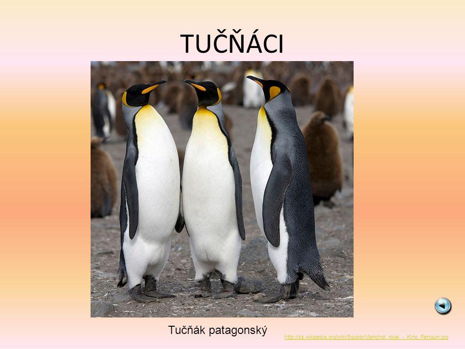 TUČŇÁCI Tučňák patagonský http://cs.wikipedia.org/wiki/Soubor:Manchot_royal_-_King_Penguin.jpg