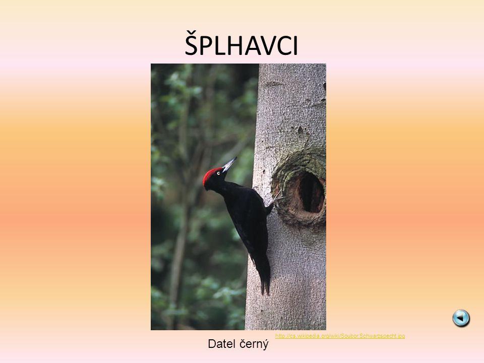ŠPLHAVCI Datel černý http://cs.wikipedia.org/wiki/Soubor:Schwarzspecht.jpg