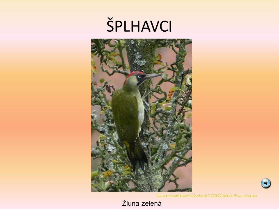 ŠPLHAVCI Žluna zelená http://cs.wikipedia.org/wiki/Soubor:Gr%C3%BCnspecht_Picus_viridis.jpg