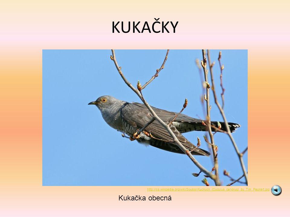 KUKAČKY Kukačka obecná http://cs.wikipedia.org/wiki/Soubor:Kuckuck_(Cuculus_canorus)_by_Tim_Peukert.jpg