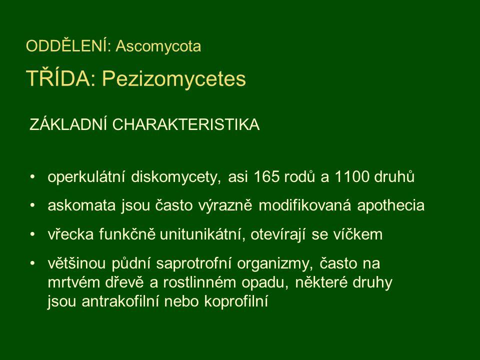 ZÁKLADNÍ CHARAKTERISTIKA operkulátní diskomycety, asi 165 rodů a 1100 druhů askomata jsou často výrazně modifikovaná apothecia vřecka funkčně unitunik