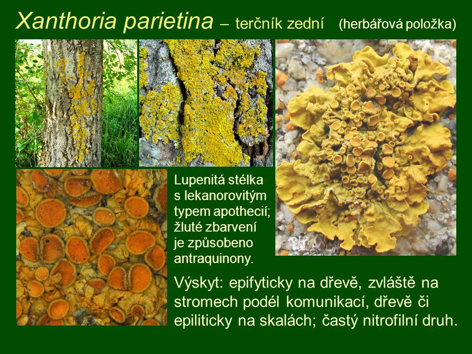 Xanthoria parietina – terčník zední (herbářová položka) Výskyt: epifyticky na dřevě, zvláště na stromech podél komunikací, dřevě či epiliticky na skal
