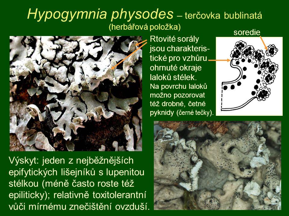 Hypogymnia physodes – terčovka bublinatá (herbářová položka) Rtovité sorály jsou charakteris- tické pro vzhůru ohrnuté okraje laloků stélek. Na povrch