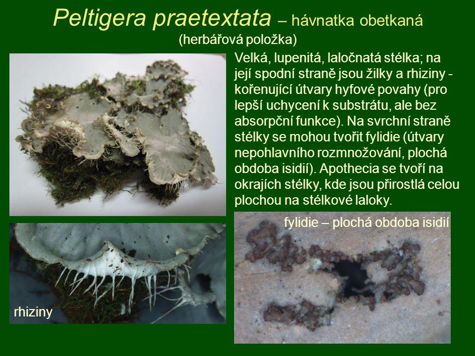 Peltigera praetextata – hávnatka obetkaná (herbářová položka) Velká, lupenitá, laločnatá stélka; na její spodní straně jsou žilky a rhiziny - kořenují