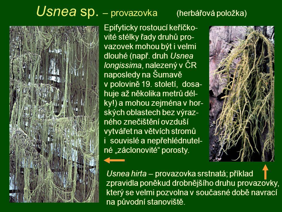 Usnea sp. – provazovka (herbářová položka) Usnea hirta – provazovka srstnatá; příklad zpravidla poněkud drobnějšího druhu provazovky, který se velmi p