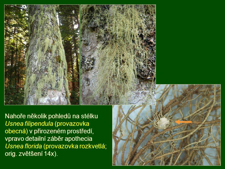 Nahoře několik pohledů na stélku Usnea filipendula (provazovka obecná) v přirozeném prostředí, vpravo detailní záběr apothecia Usnea florida (provazov