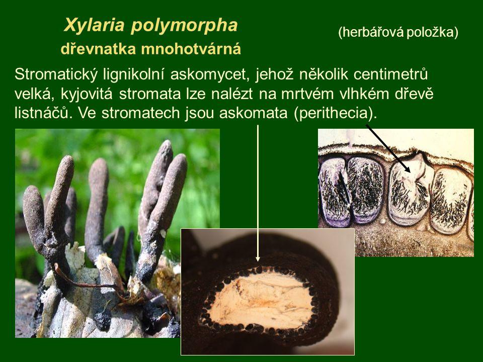 Xylaria polymorpha dřevnatka mnohotvárná (herbářová položka) Stromatický lignikolní askomycet, jehož několik centimetrů velká, kyjovitá stromata lze n