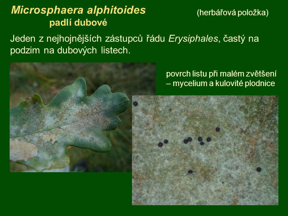 Microsphaera alphitoides padlí dubové (herbářová položka) Jeden z nejhojnějších zástupců řádu Erysiphales, častý na podzim na dubových listech. povrch
