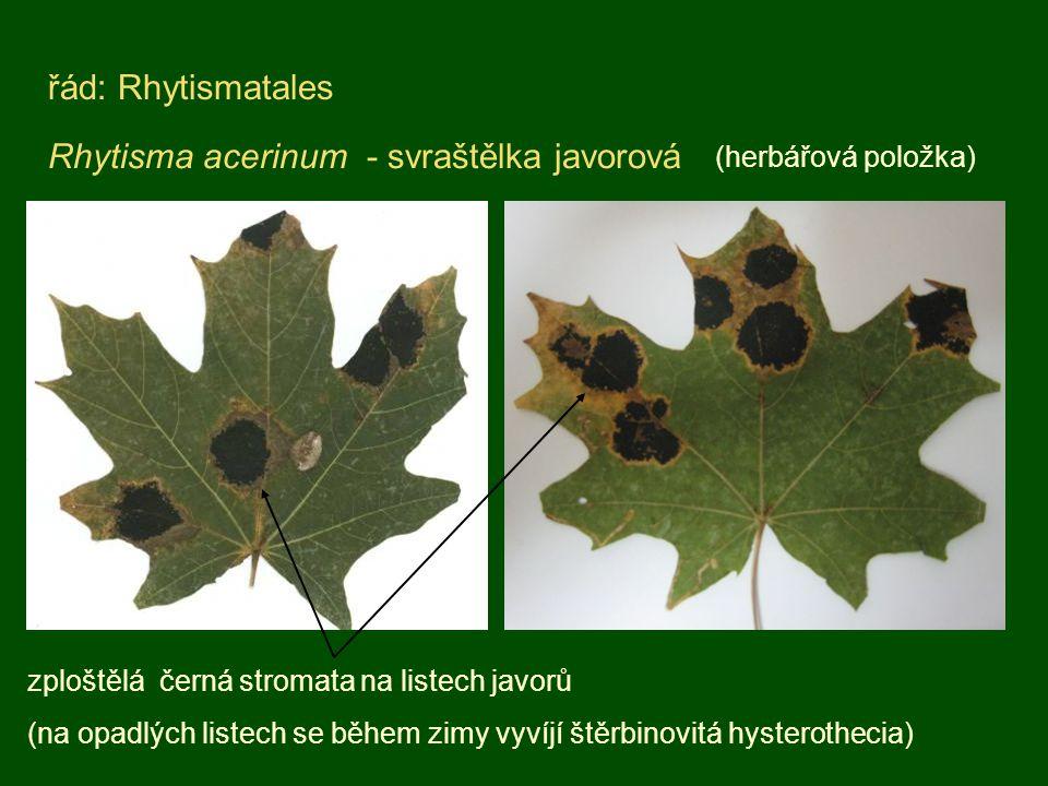 Rhytisma acerinum - svraštělka javorová řád: Rhytismatales (herbářová položka) zploštělá černá stromata na listech javorů (na opadlých listech se běhe