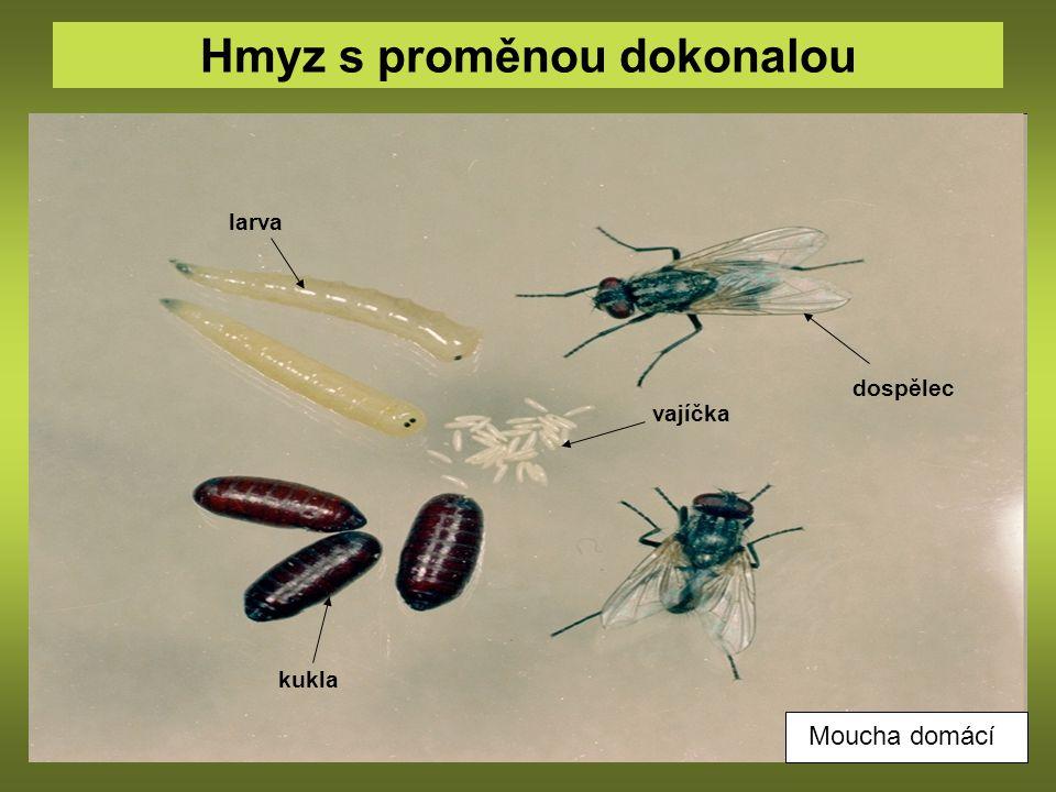 Hmyz s proměnou dokonalou vajíčka larva kukla dospělec Moucha domácí
