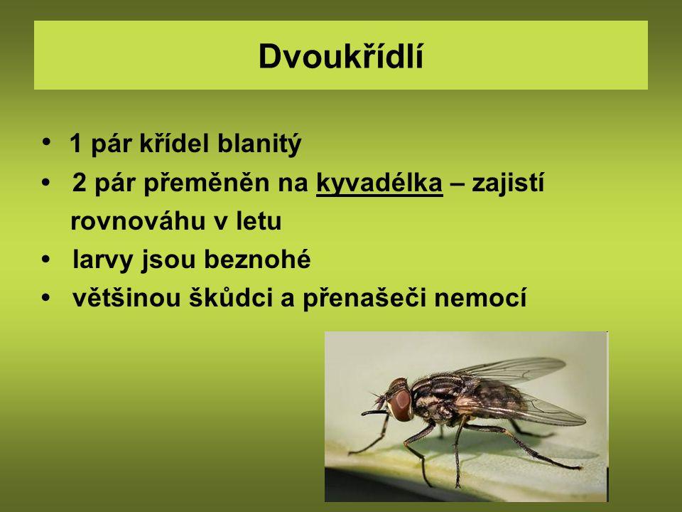 Moucha domácí - složené oči - krátká tykadla - ústní ústrojí lízavě sací drápek s polštářkem