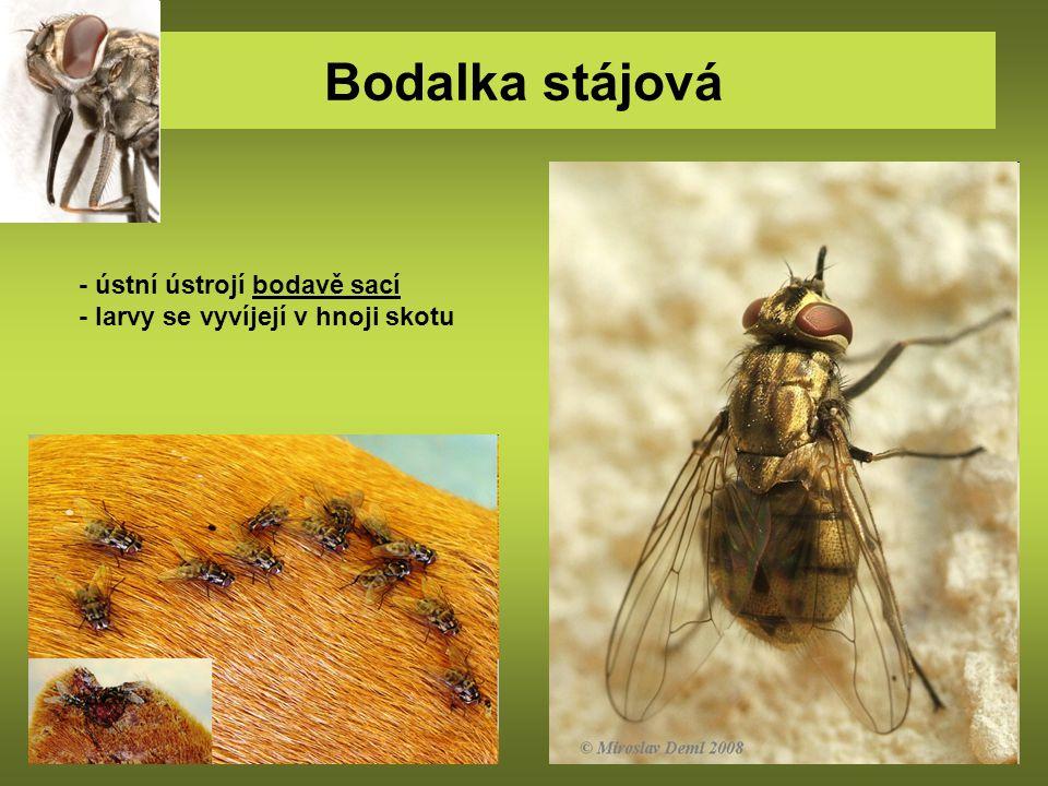 Bodalka stájová - ústní ústrojí bodavě sací - larvy se vyvíjejí v hnoji skotu