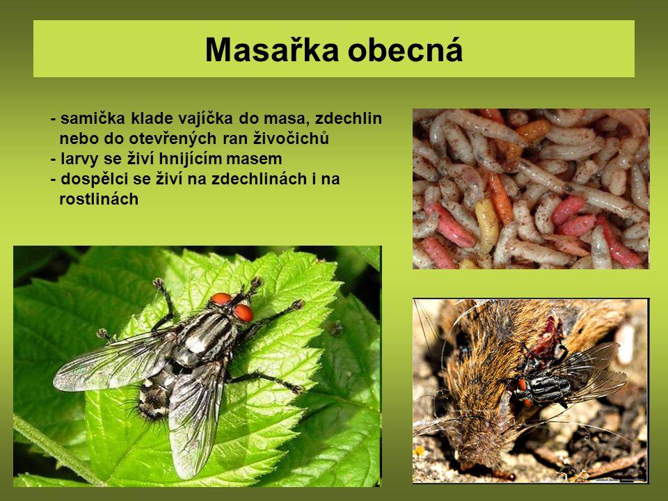 Masařka obecná - samička klade vajíčka do masa, zdechlin nebo do otevřených ran živočichů - larvy se živí hnijícím masem - dospělci se živí na zdechli