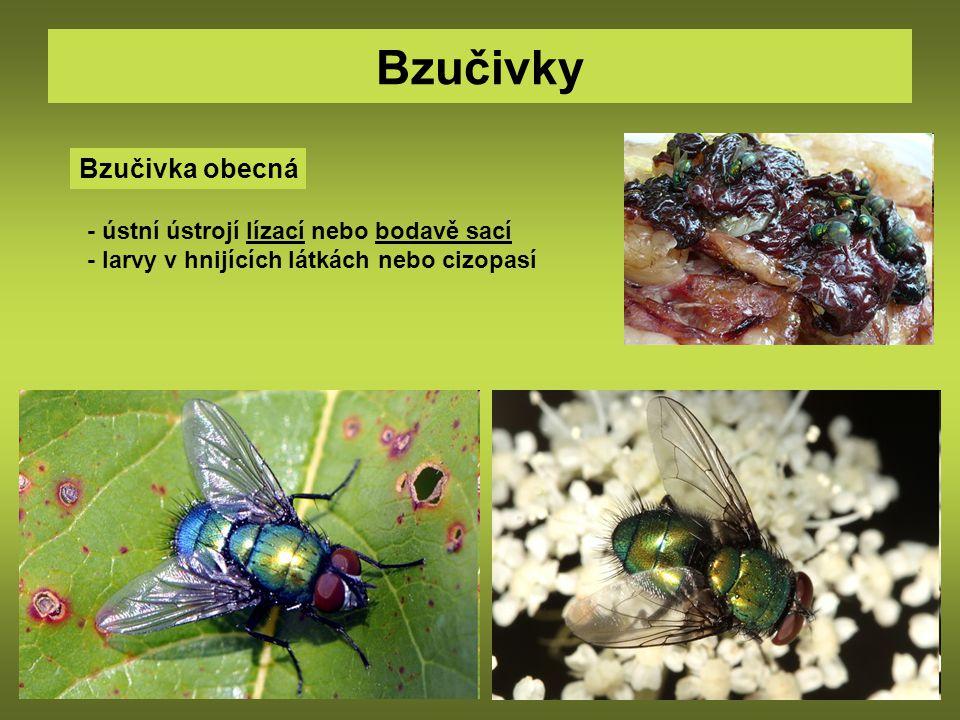 Bzučivky Bzučivka obecná - ústní ústrojí lízací nebo bodavě sací - larvy v hnijících látkách nebo cizopasí