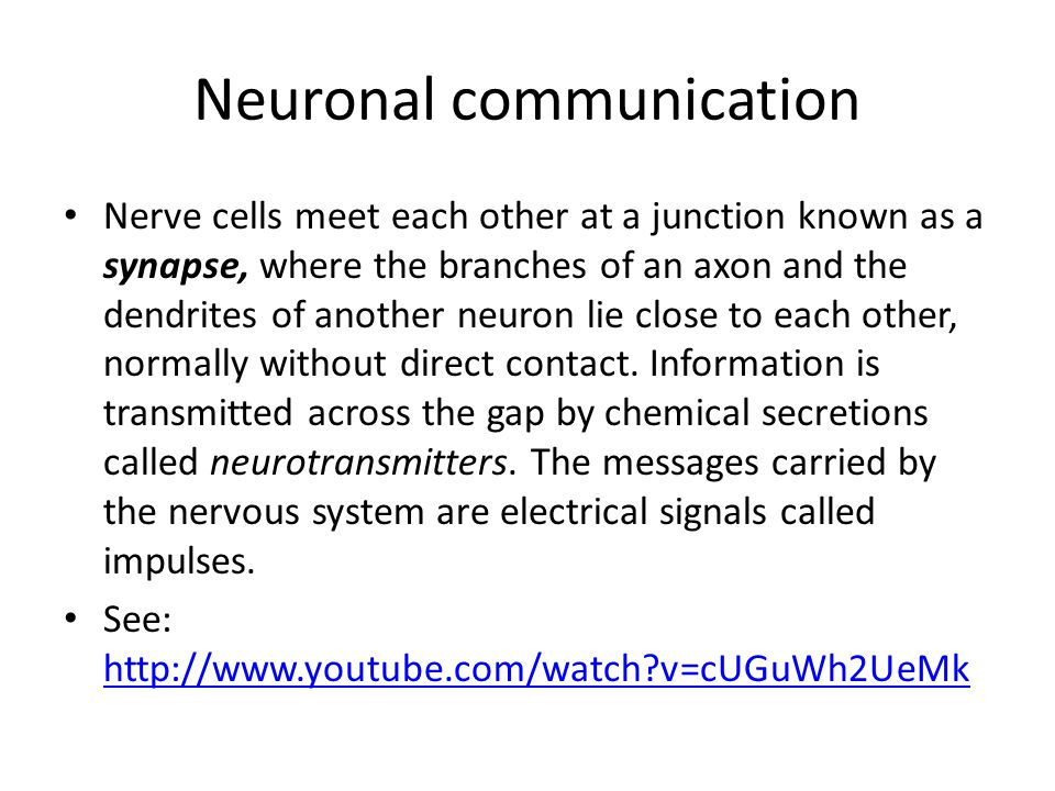 Neuronal communication Nerve cells meet each other at a junction known as a synapse, where the branches of an axon and the dendrites of another neuron lie close to each other, normally without direct contact.