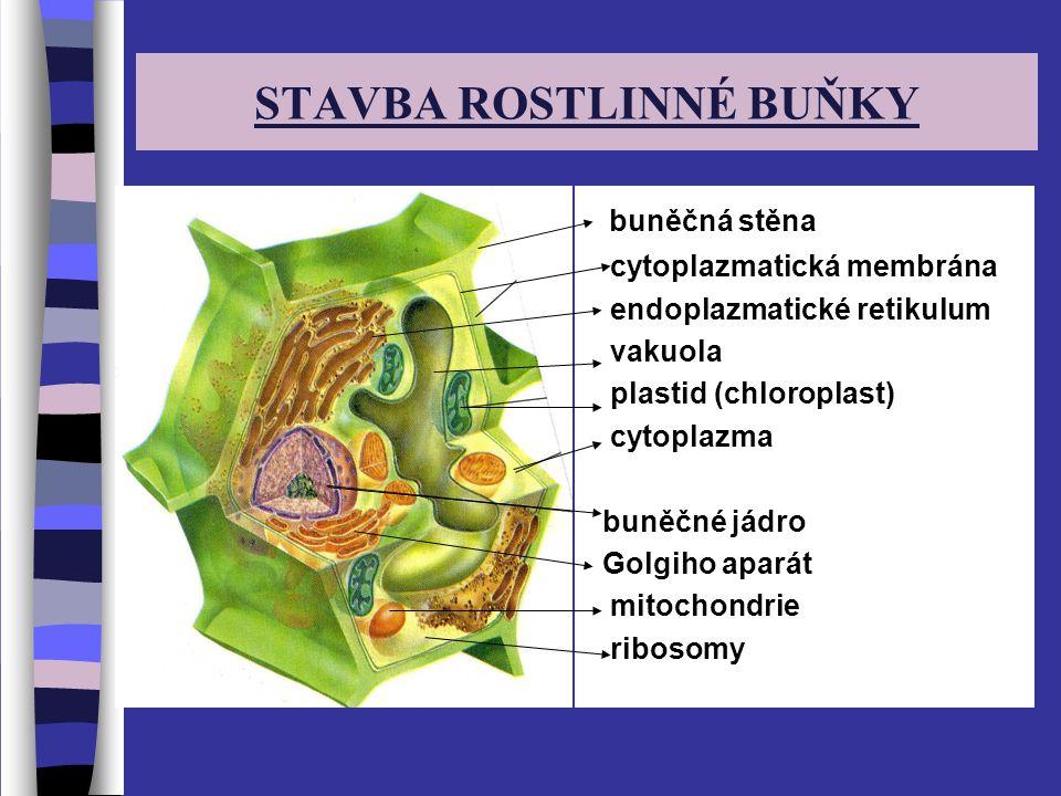 STAVBA ROSTLINNÉ BUŇKY buněčná stěna cytoplazmatická membrána endoplazmatické retikulum vakuola plastid (chloroplast) cytoplazma buněčné jádro Golgiho aparát mitochondrie ribosomy