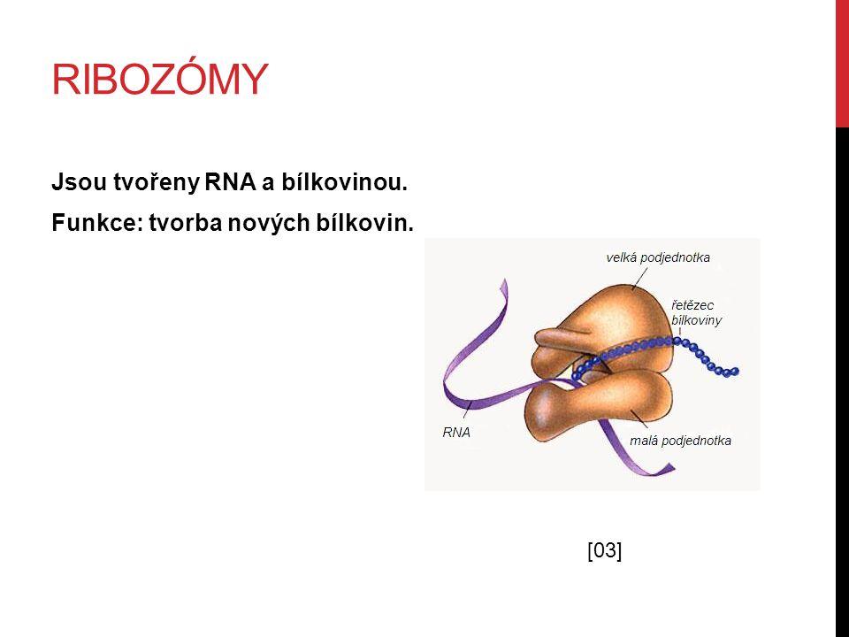 ENDOPLAZMATICKÉ RETIKULUM Systém vzájemně propojených kanálků, na jejichž povrchu jsou ribozómy.