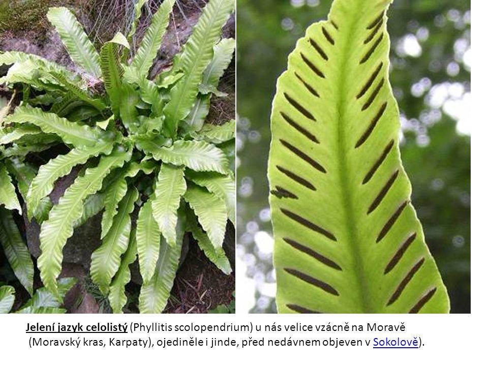 Sleziník zelený (Asplenium viride) je ohrožený druh Vytrvalá, malá kapradina s nepřezimujícími listy, která se vyskytuje na stinných a vlhkých skalách podhůří a hor, častěji na vápnitém podkladě.