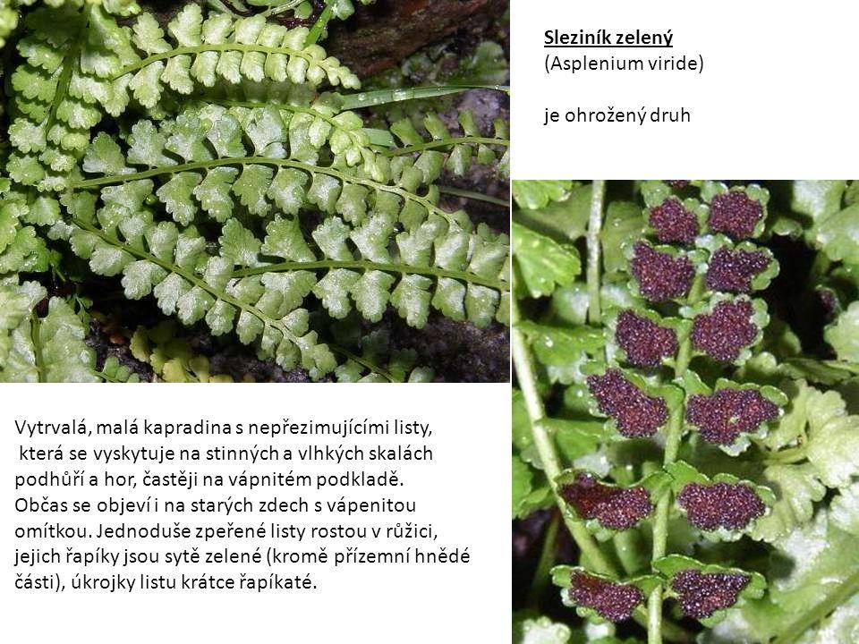 Sleziník routička (Asplenium ruta – murarium) vytrvalá, drobná kapradina s přezimujícími listy, roste ve štěrbinách skal, na starých zdech.