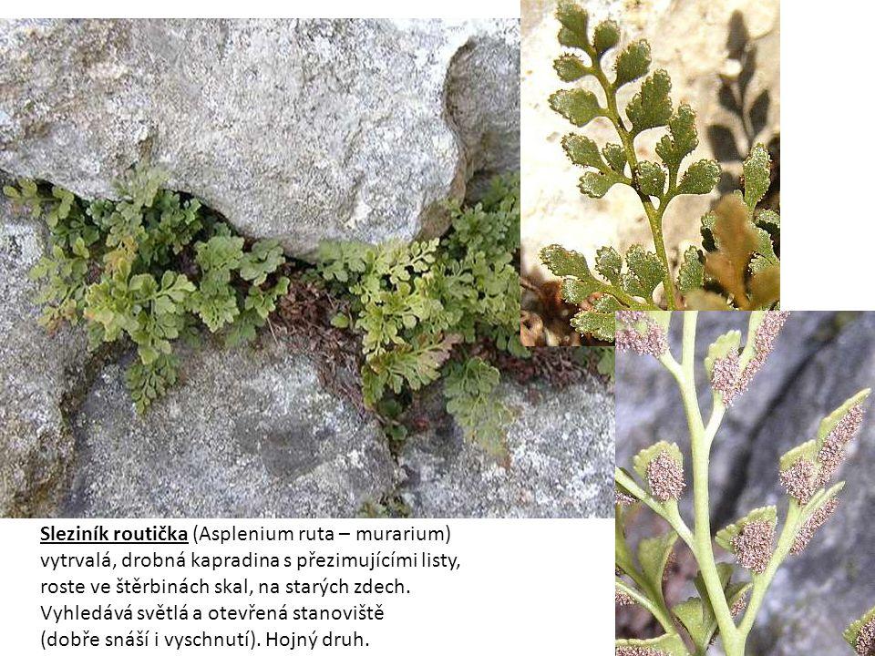 Marsilka čtyřlistá je heterosporická vodní kapradina