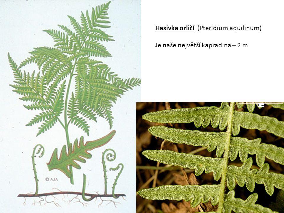 Osladič obecný (Polygonium vulgare) 20 – 30 cm, hojný druh