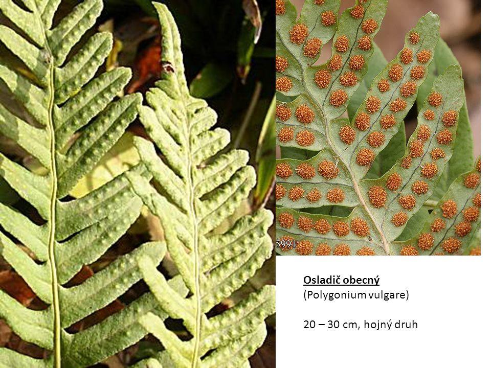 Žebrovice různolistá (Blechnum spicant) Má rozlišené sporo- a trofofyly