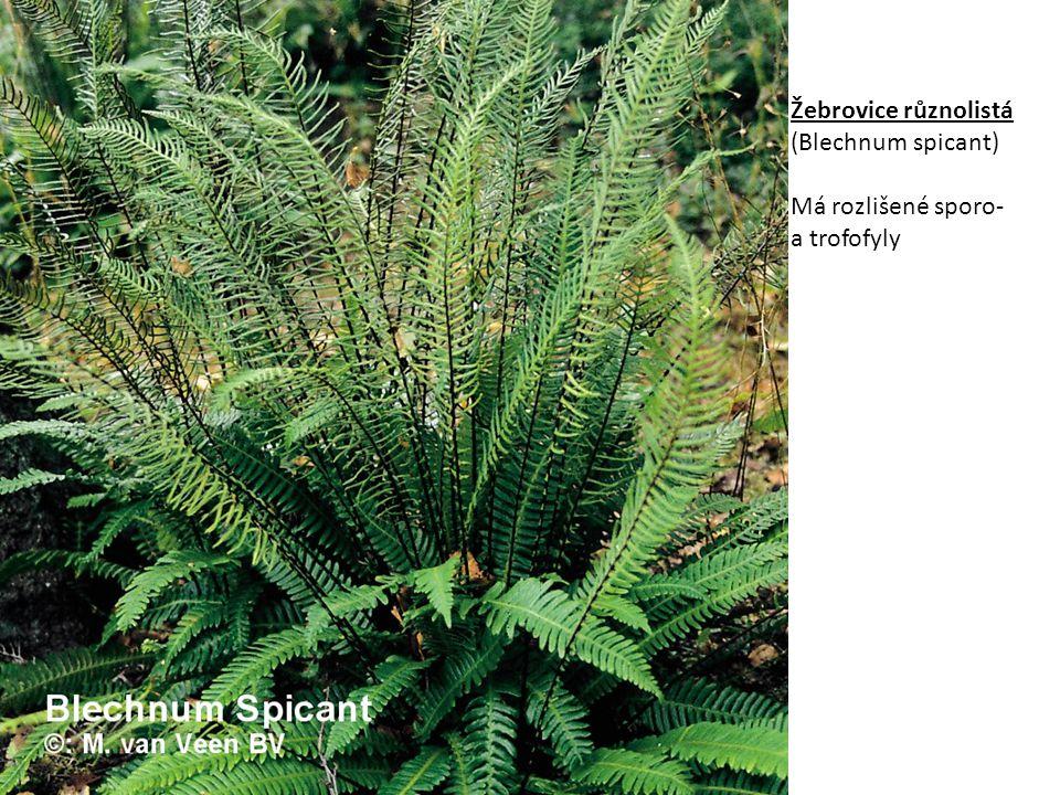 Žebrovice různolistá (Blechnum spicant)