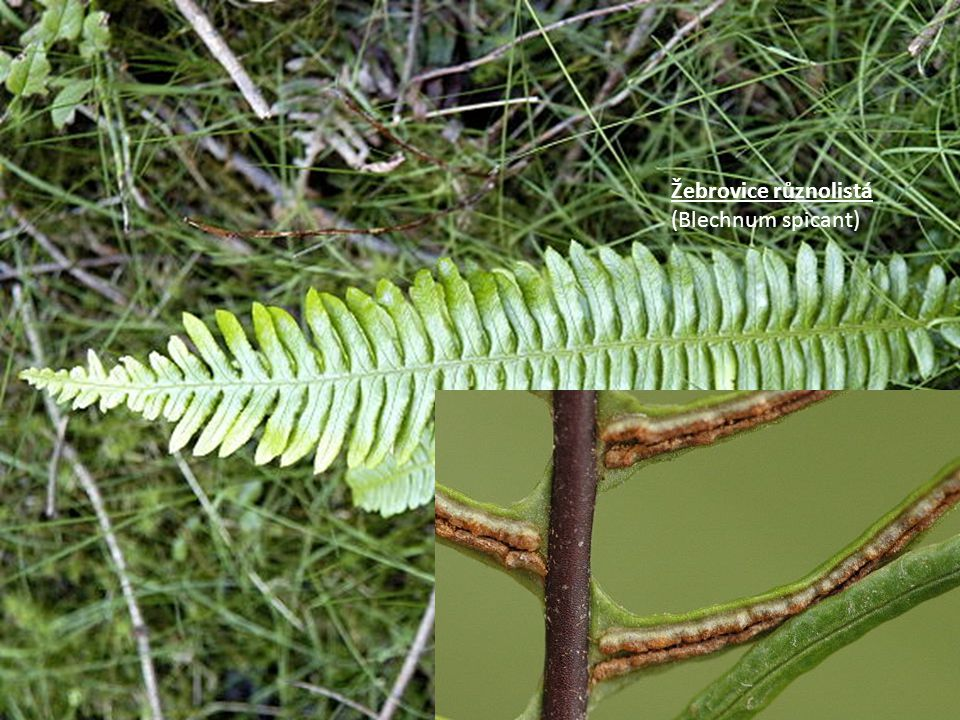 Pérovník pštrosí (Matteucia struthiopteris), Má rozlišené sporo- a trofofyly, vzácná